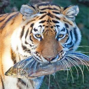 Entry to Linton Zoo for Two - £12 using code @ BuyAGift