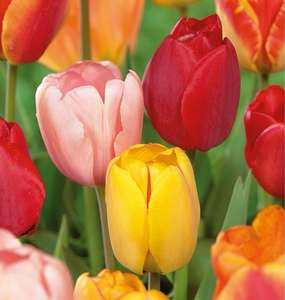 Variety of Tulip 75 Bulbs in a pack - reduced to clear in Homebase £1