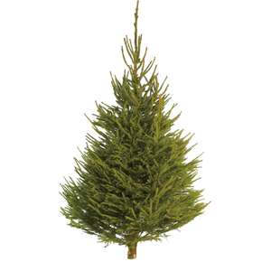 5-6ft Norway Spruce Real Cut Christmas Tree - £9.50 + free Click and Collect @ Homebase