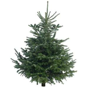 Cut Nordman Fir Real Christmas Tree 1.6m - 1.9m Reduced to Clear - £2.50 at Tesco Extra Peterborough