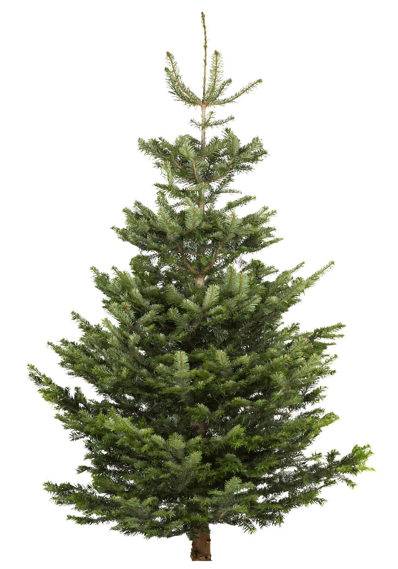 Real Christmas trees 50p @ B&Q (Exeter)