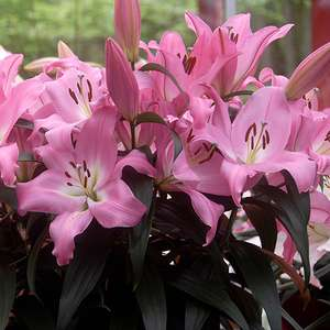 7 free Lily bulbs worth £9.99 with any purchase of plants seeds and bulbs with voucher code @ You Garden