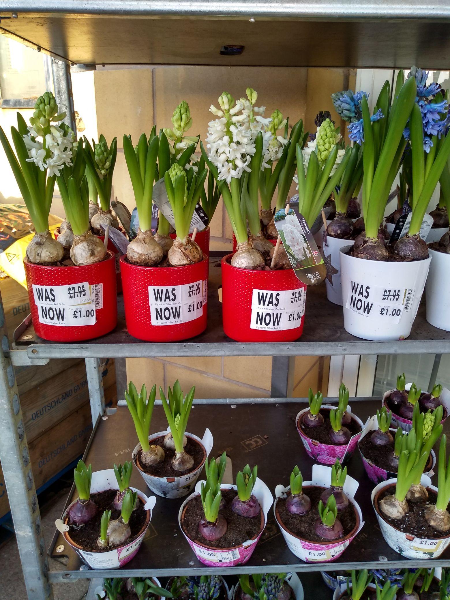 3 Hyacinth bulbs in pots various colours £1 in Homebase Hamilton (Scotland)