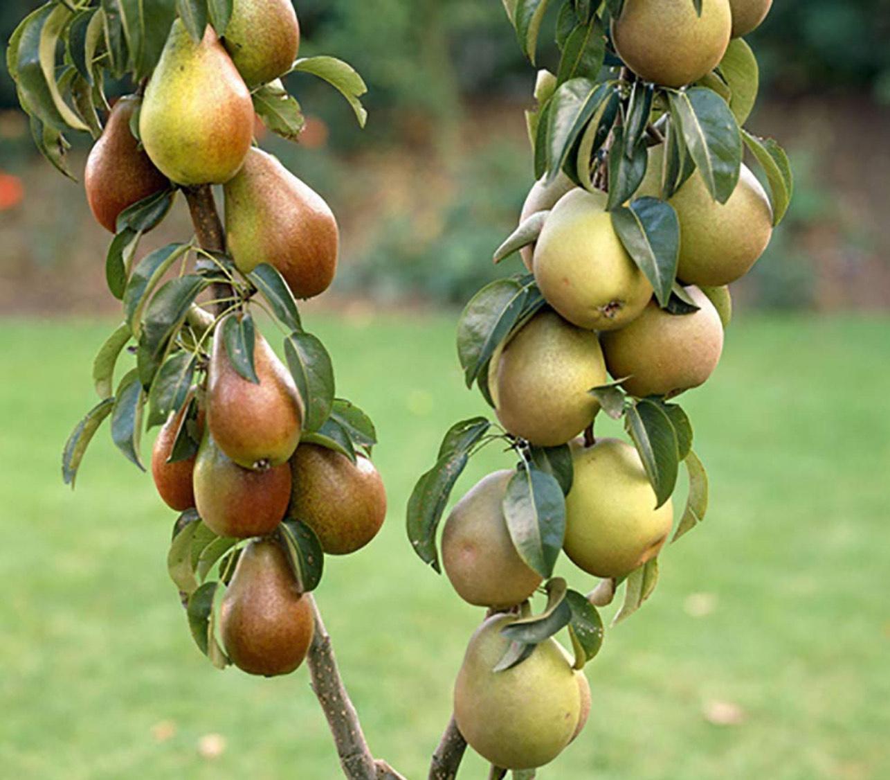 Fruit Trees 1.7-2m - £9.99 @ Costco