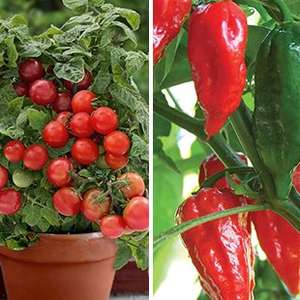 3 x windowsill tomato plants and 3 x Chilli plants for £18.93 delivered @ Gardening Direct