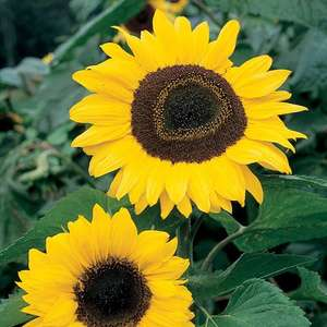 Seeds for £1 / £2.99 delivered from Sutton Seeds