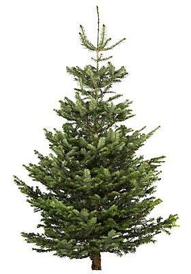 Real Christmas tree 1p at B&Q Bexhill