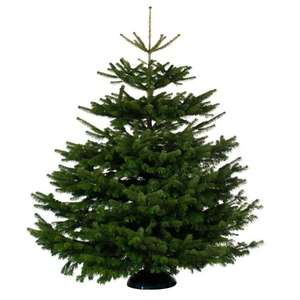 Real Christmas Trees now free @ B&M instore