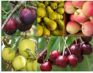 Grow your own Fruit Trees Offer - FIVE Different Trees £29.99 + £5.99 delivery at Gardening Express