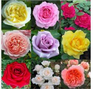 Luxury Garden Roses - Premier Collection - Pack of SIX Different Bush Roses £22.79 + £5.99 delivery @ Gardening Express