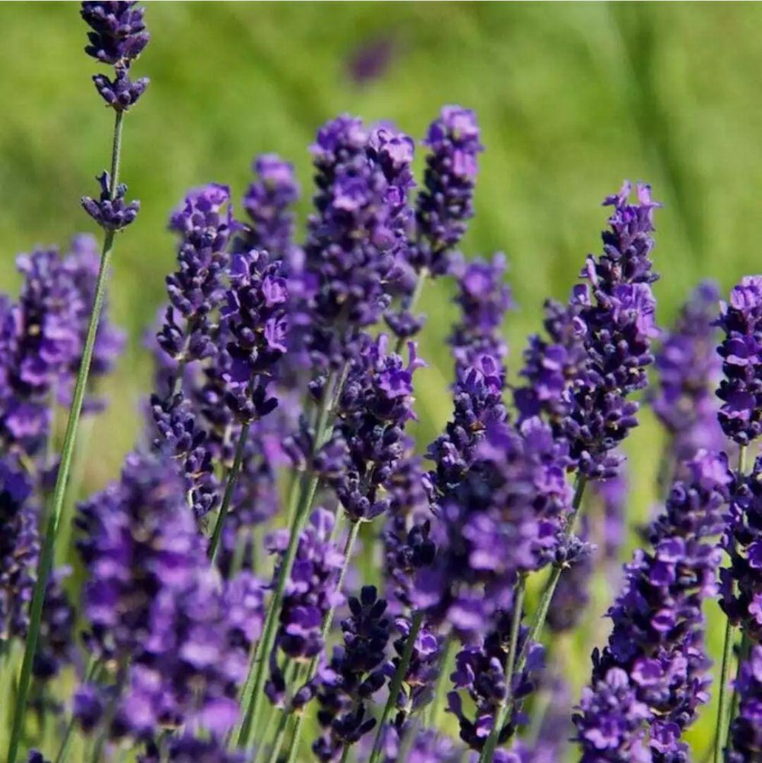 10 mis-shape Hidcote Lavender plants - £19.99 delivered @ lavenderworld2010 / eBay