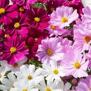 Richard Jackson 24x 7cm Garden Ready Busy Lizzie & Cosmos & 475g Flower Power £24.94 delivered @ QVC