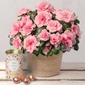Mothers Day pink Azalea plant & 100g chocolate truffles £19.50 delivered (Friday- extra for Sun delivery) @ Bunches
