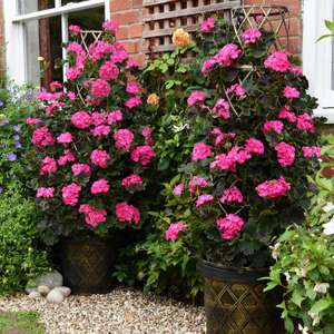Thompson & Morgan Tall Dark & Handsome Geranium 3x 1L Pots with Tower Planter £32.94 delivered @ QVC