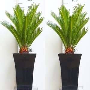 Pair of King Sago Palm Trees - Cycad - Cycas revoluta 50-60 cms with Flared Black Planters £65.94 delivered @ Gardening Express