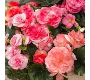 Hayloft Plants 6x Begonia Limitless in 9cm Pots delivered £23.94 @ QVC