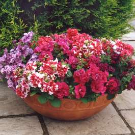 Buy one get one free on 24 x Petunia Bolero Double Flowering large plants (48 plants in total) for £20.44 delivered @ Gardening Direct