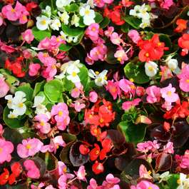 Buy one get one half price on 24 x Begonia Sahara large plants (48 plants in total) for £28.18 delivered @ Gardening Direct