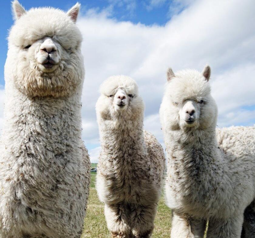Warwickshire alpaca walk & farm entry for 2 Adults + 2 Children £22.33 using code @ Buyagift