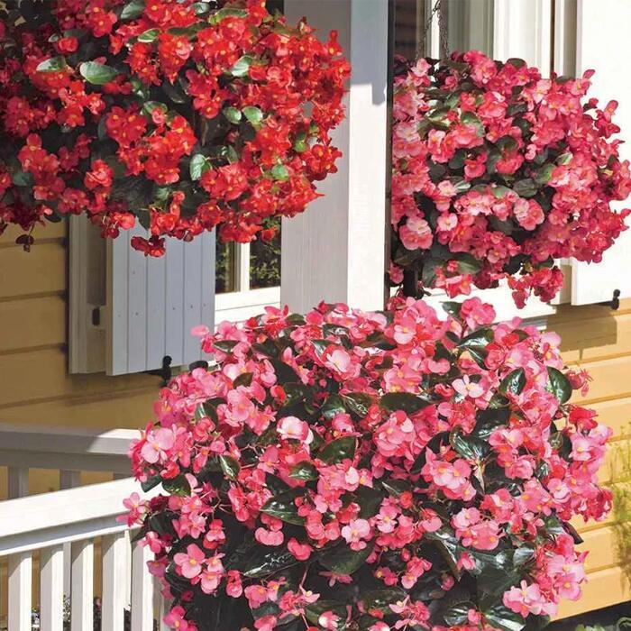 Begonia Big - 48 Large Plants £19.13 Using Code @ Gardening Direct