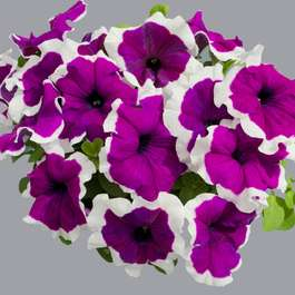 24 x large plants Petunia Capri Hardy Violet Picotee for £16.49 delivered @ Gardening Direct