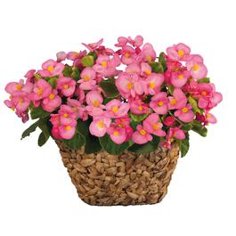 12 x Mega Plants Begonia Sprint Plus Green Leaf Pink for £14.39 delivered @ Gardening Direct