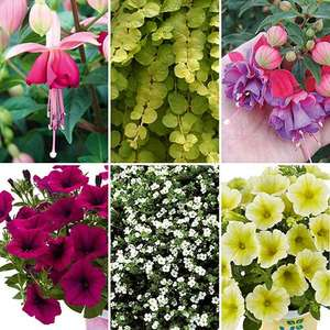 Free Hanging Basket Collection x 12 Plug Plants - Just Pay Postage (+£6.99) @ You Garden