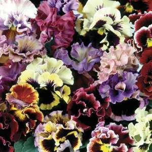 Pansy Can Can - 70 Plug Plants - £13.70 Delivered or 140 For £22.45 Delivered / 24 Large Plants £15.79 Delivered @ Gardening Direct