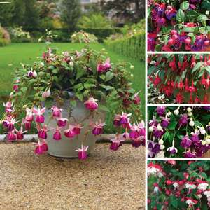 Fuchsia (Trailing) 12 Premium Large Plants - £16.57 Delivered @ Gardening Direct