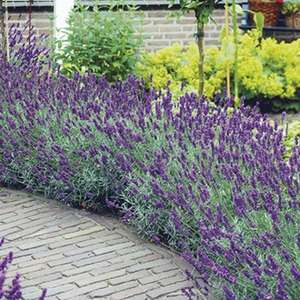 40 Free Lavender Plants Pay just £5.95 postage and packing with code at Woolmans