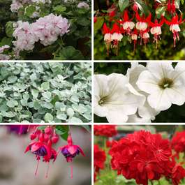 Planter & Patio Summer Mix Collection 12 large plants (geraniums, fuchsias, petunias & helichrysums) for £14.24 delivered @ Gardening Direct