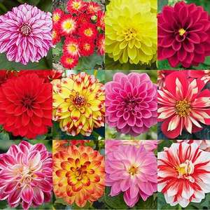 Delicious Dahlias 'Lubega' (R) Series 12 x plug plants Just pay £6.99 shipping at YouGarden