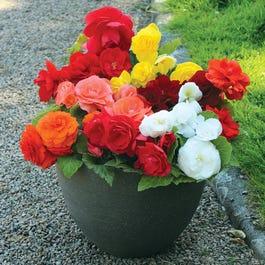 70 Medium Plug Plants of Begonia Destiny for £13.70 delivered @ Gardening Direct
