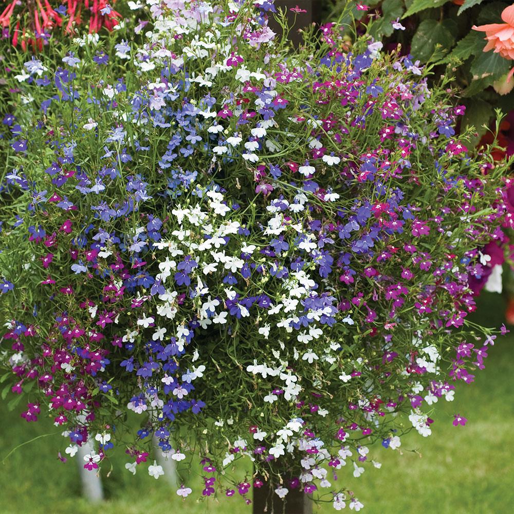 72 Lobelia Ultra Cascade Mixed plug plants £3.99 + £2.99 p&p (UK Mainland) from Suttons Seeds