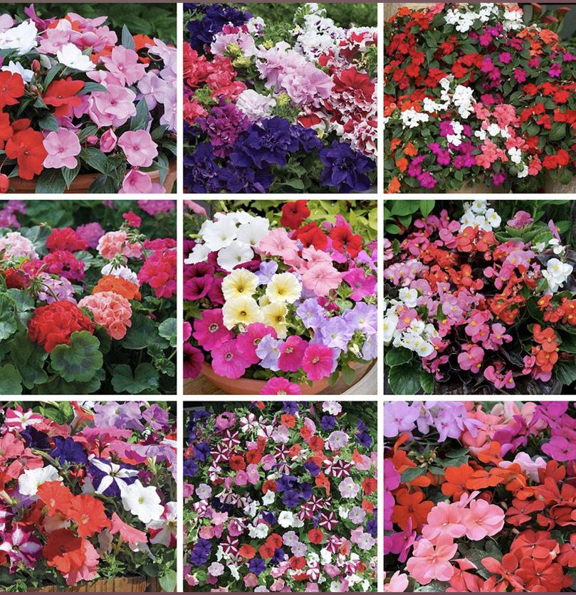 Lucky Dip Annual Garden Favourites - 72 Plug Plants - £4.99 @ Suttons Seeds