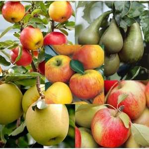 Grow Your Own Fruit Trees Orchard Starter Bundle 5x fruit trees - apple and pear £18.98 delivered @ Gardening Express