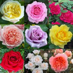Luxury Garden Roses - Premier Collection - Pack of SIX Assorted Bush Roses for £12.95 + £5.99 @ Gardening Express