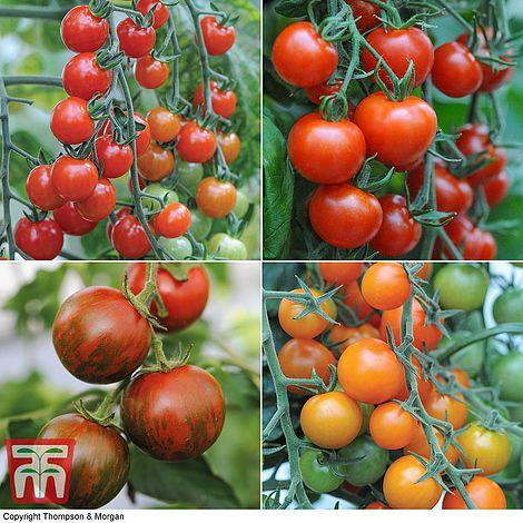 10 Free Nurseryman's Choice Tomato Plants + £4.99 delivery with code at Thompson & Morgan
