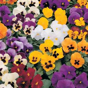 Buy One Get One Free on Packed Bedding Plants (e.g. 48 pack of mixed bedding £2.50 / Impatiens 12pk £3.95) - In Store UK Mainland @ Homebase