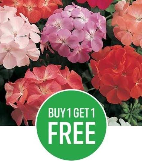 Homebase Ewell - BOGOF on Bedding plants - prices from £6.45