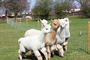 £20 off orders over £69/£10 off orders over £29 @ BuyAGift - E.G. Alpaca Farm Entry with Alpaca Walk for Two Adults and Two Children £19
