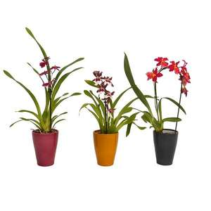 Orchid (1-spike) in Ceramic Pot - £3 or Mix Orchids 2 Spike - £3.24 (in-store) @ Homebase