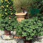 Coleus Canina - Scaredy Cat Plants (natural cat repellent plants) - less than half price - £4.95 for 5 @ Dobies