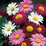 6 Pyrethrum Tanacetum plants £1.99 10 Free Short Stemmed Lilies £3.99 delivery @ J Parker Bulbs