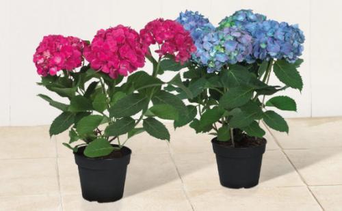 Hydrangea Plants (35cm) £4.99 at Lidl