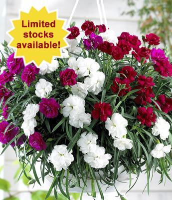 Carnation 'Fontaine' Mixed 10 jumbo plants  £4.99 @ Thompson & Morgan