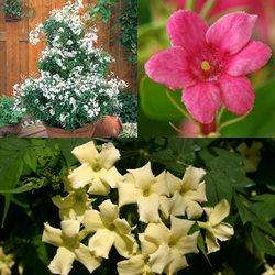 3 Hardy fragrant Jasmine for £1.99, 25 free Tulips, P&P £3.99 @ J Parkers