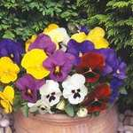 Sale @ Gardening Direct e.g. 21 medium plug pansies for £3.99 (8th Sept only) + free P&P, free 5 packs of seed, 20% cashback