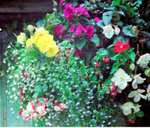 """The Grosvenor Centre Chester - 16"""" Hanging Basket - £29.99 Buy One Get One Free"""