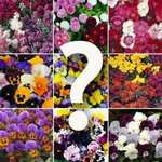 Quality autumn bedding plants, like violas or polyanthus, lucky dip (pics in #1) only £2.68 a tray delivered, using voucher code, @ Blooming Direct + pos. 10% TCB